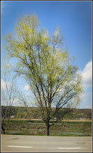 Photo: Salix Babylonica Tortuosa . de pe Str. Constructorilor - 2016.03.29
