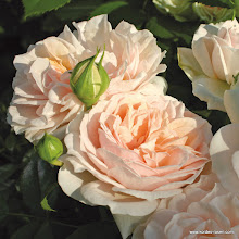 Photo: Beetrose Garden of Roses®, Züchter: W. Kordes' Söhne 2006