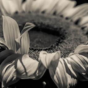 Sunflower  by Mariesa Taljaard - Flowers Single Flower ( flower photography, blackandwhite, yellow flower, flower up close, sunflowers,  )