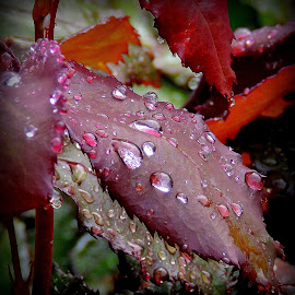 Rain Droplets by Becky Luschei - Nature Up Close Leaves & Grasses ( rose, decorated, leaves, rain, early morning, droplets )