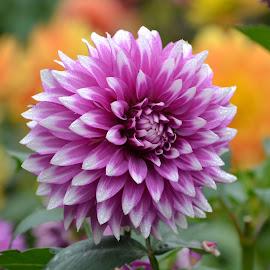 dahlia beauty purp_6382 4 x 6 by Kathy Eder - Flowers Single Flower
