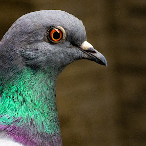 Side Profiling Pigeon by Antonio Winston - Animals Birds ( pigeon, street pigeon, feral pigeon )