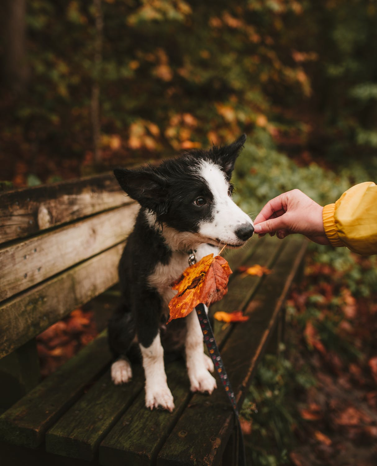 fall photoshoot ideas for dogs leaves