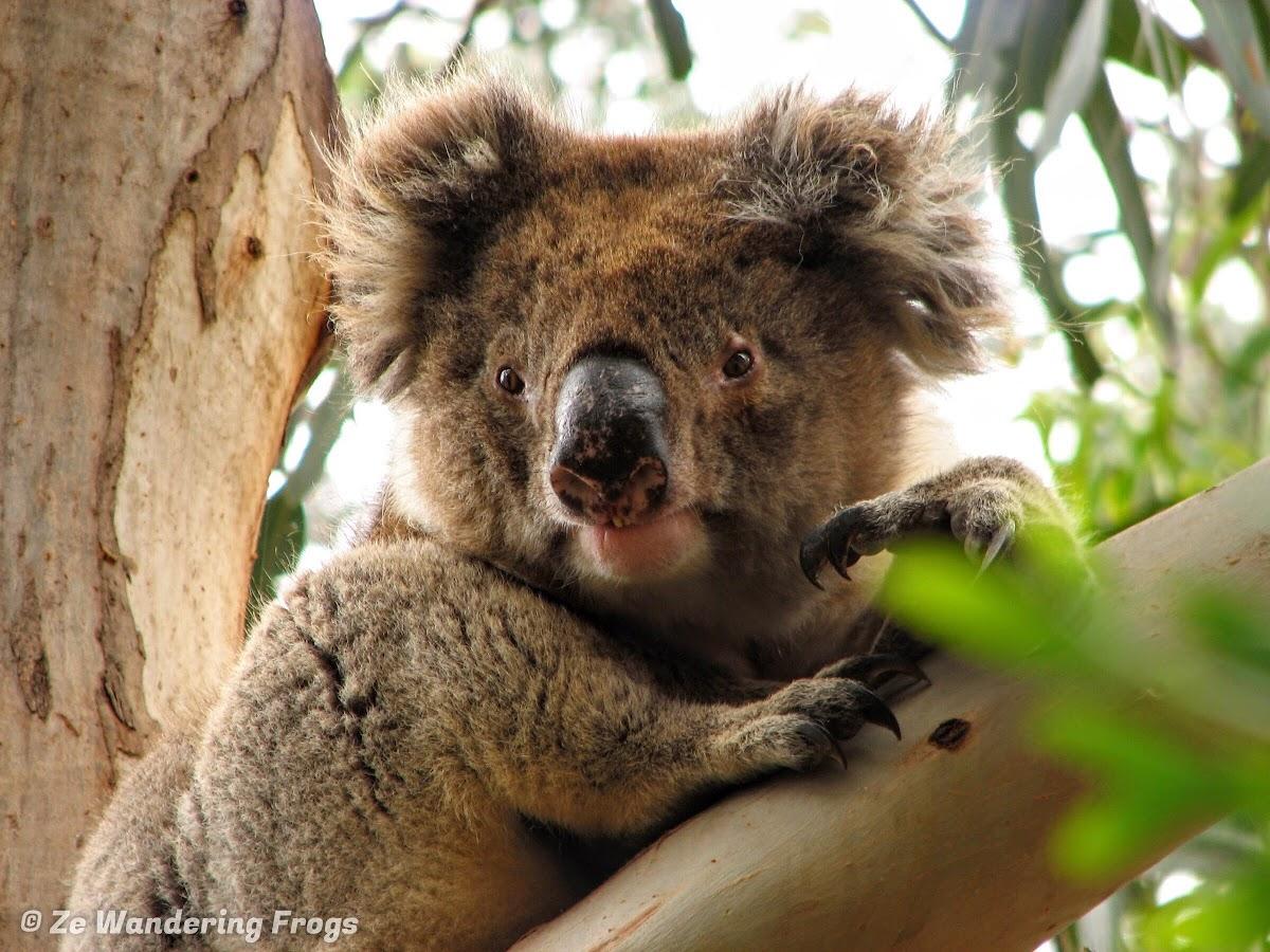 3 Week Australia Itinerary Road Trip National Parks Widlife // Koala at Hanson Bay Sanctuary, Kangaroo Island