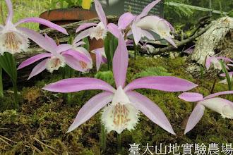 Photo: 拍攝地點: 梅峰-一葉蘭展示室 拍攝植物: 臺灣一葉蘭 拍攝日期:2012_04_03_FY
