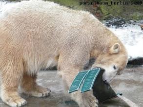 Photo: Knut versucht es mit kraeftigem Ziehen ;-)