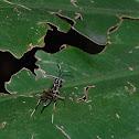 Gotra octocinctus 花胸姬蜂