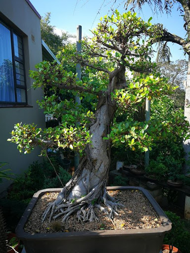 January 2018 Club Meeting : Durban Bonsai Society