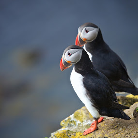 Puffin pair by Mike Mulligan - Animals Birds ( iceland, nature, cliff, puffins, birds,  )