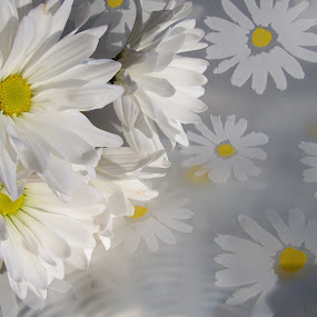 daisies by Carol Keskitalo - Novices Only Flowers & Plants ( daisies, flowers, spring )
