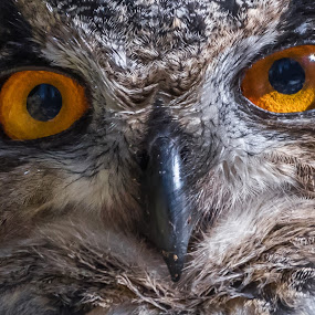 Eurasian eagle-owl by Andrej Kozelj - Animals Birds ( orange, wild, wildlife, birds, eyes, bird, nature, ows, owl, nature up close, eagle owl, natural, eye )