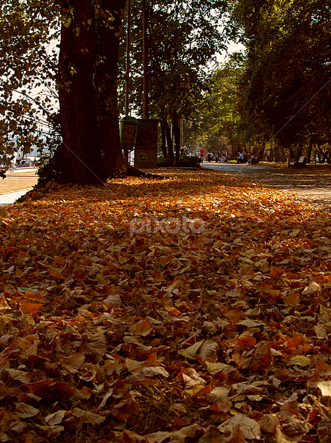 by Mira Mandic - Nature Up Close Trees & Bushes ( fall leaves on ground, fall leaves )