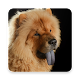 Chow Chow Wallpapers for PC-Windows 7,8,10 and Mac