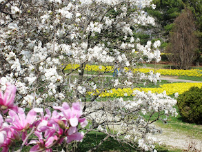 Photo: Pink and white magnolias in front of rivers of daffodils at Cox Arboretum in Dayton, Ohio.