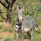 Zebra  -  Grevy's Zebra, Swahili:Punda milia kubwa