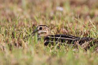 Photo: Common Snipe