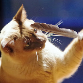 Playing with feather by Carolyn Lawson - Animals - Cats Playing