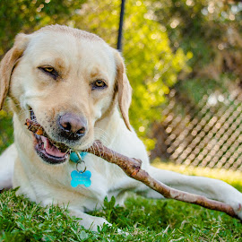 Yum by Meaghan Browning - Animals - Dogs Playing ( labrador retriever, stick, park, grass, chewing )