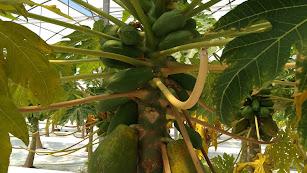 La mejora genética del cultivo de papaya en Almería sera una de las investigaciones apoyadas por el Plan Estatal de I+D+I.