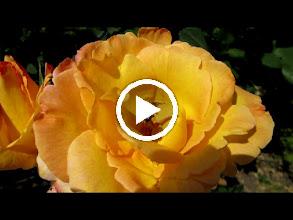 Video: Trandafiri ( Rosa) - din parcul Bisericii Ortodoxe din Mr.3 - 2017.06.21