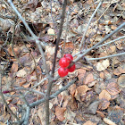 Mountain Cranberry Lingonberry