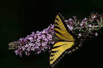 Photo: Tiger Swallowtail on Buddleia