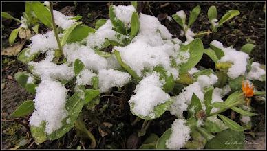 Photo: Galbenele (Calendula officinalis) - de pe Str. George Cosbuc - 2018.01.13