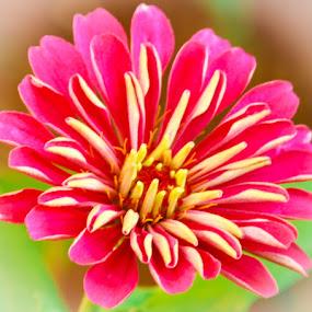 Starburst by Jennifer  Loper  - Flowers Single Flower ( red, pink, green, yellow, starburst, zinnia,  )