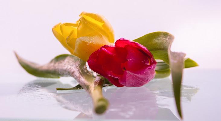 tulipani di Mony.M