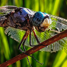 An Alien Presence by Dee Haun - Animals Insects & Spiders ( dragonfly, close up, 180701t2703c3e1, blue-green head, animals, insects, iphone, alien presence,  )