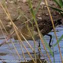 Black-tailed Godwit;