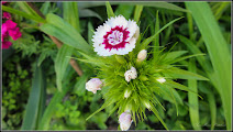 Photo: Garofițe de gradina ( Dianthus barbatus) - de pe Calea Victoriei, Nr.17,19 - 2017.06.04 Album: http://ana-maria-catalina.blogspot.ro/2016/04/garofite-dhiantus.html