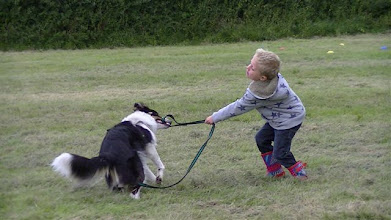 Photo: Galu Border Collie really, really wanted to tug with Will instead of training! Think this has now sprung up to top my favourite pictures!