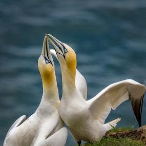 pair of Gannets by Eddie Leach - Animals Birds ( bird, gannets, nature, birds, animal,  )