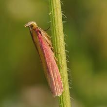 Photo: Oncocera semirubella  http://lepidoptera-butterflies.blogspot.com/