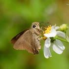 Hasora chromus chromus 雙斑趾弄蝶