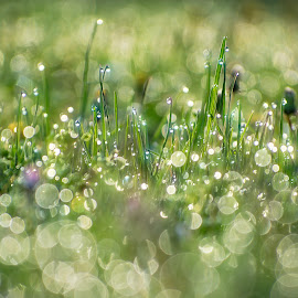 green grass with drops of dew on a spring meadow.  by Dragomir Radovanovic - Nature Up Close Natural Waterdrops ( drop, sunrise, sunshine, blur, freshness, scenic, sun, summer, blade, scene, spring, beautiful, grass, dew, season, sunny, nobody, herb, meadow, blurred, park, green, nature, wet, clear, health, clean, lush, grassland, shine, morning, outdoor, sunlight, field, sunbeam, closeup, light, background, outside, plant, sunset, defocused, shiny, garden, growth, landscape, lawn,  )