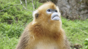 Forest of the Golden Monkey thumbnail