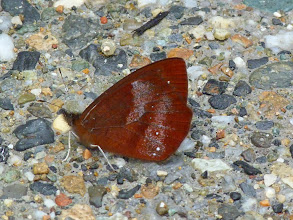 Photo: OBSOLETE LYMAN lymanopoda obsoleta--TRACK TO SAN ISIDRO