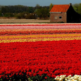 a house with view by Fred Goldstein - Flowers Flower Gardens ( view, tulips, field, holland, house,  )
