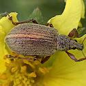 Walnut weevil