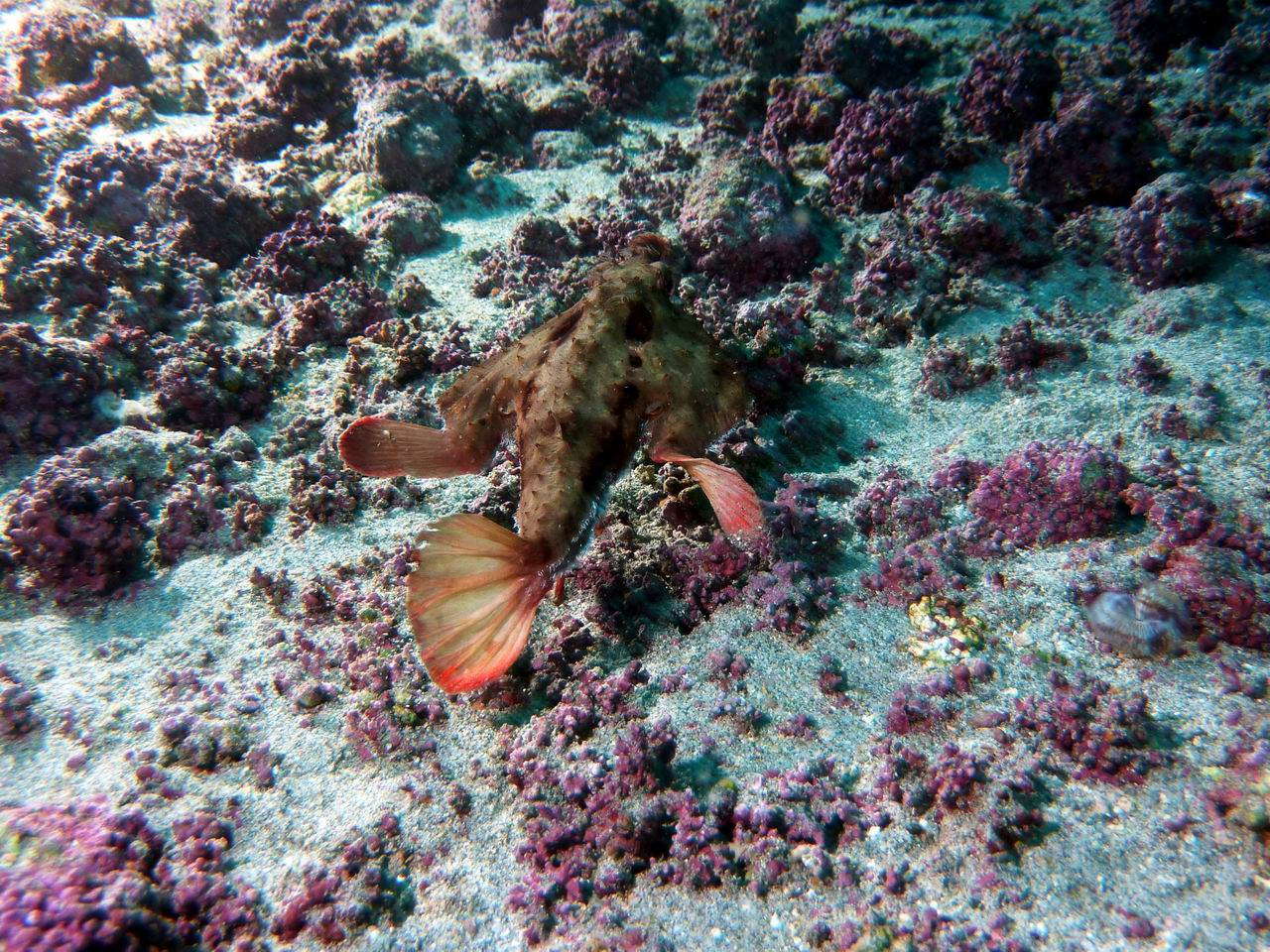 Photo: #044-Le Red Lipped Batfish de Cocos (2010)