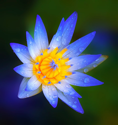 Blue in Silent Morning by TEDDY ZUSMA - Nature Up Close Flowers - 2011-2013