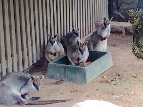 Photo: Day 6: Wallaby