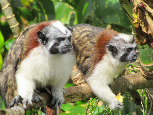 Pair-of-titi-or-Tamarin-monkeys.jpg -  A pair of Tamarin or titi monkeys at Monkey Island in Panama.
