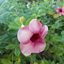 Purple Allamanda