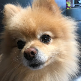 Peanut by Janice Burnett - Animals - Dogs Portraits ( mellow, pomeranian, brown eyes, cute, pet )