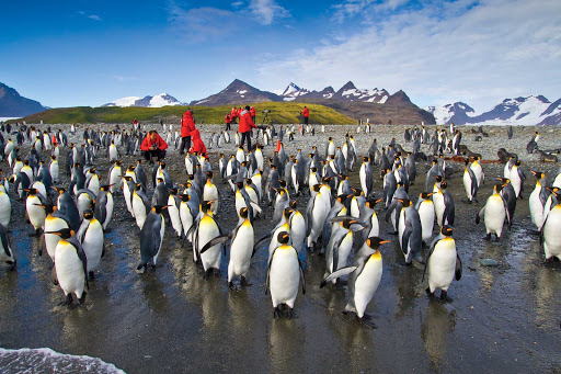 lindblad-king-penguins-nest-beach.jpg - Travelers mingle with a large group of king penguins as they breed and nest on the beach in South Georgia.