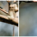 Phaedyma columella - larva 柱菲蛺蝶 - 幼蟲