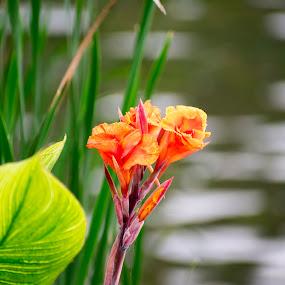 Orange canna lily flower by Basant Malviya - Flowers Single Flower ( lily, flower,  )
